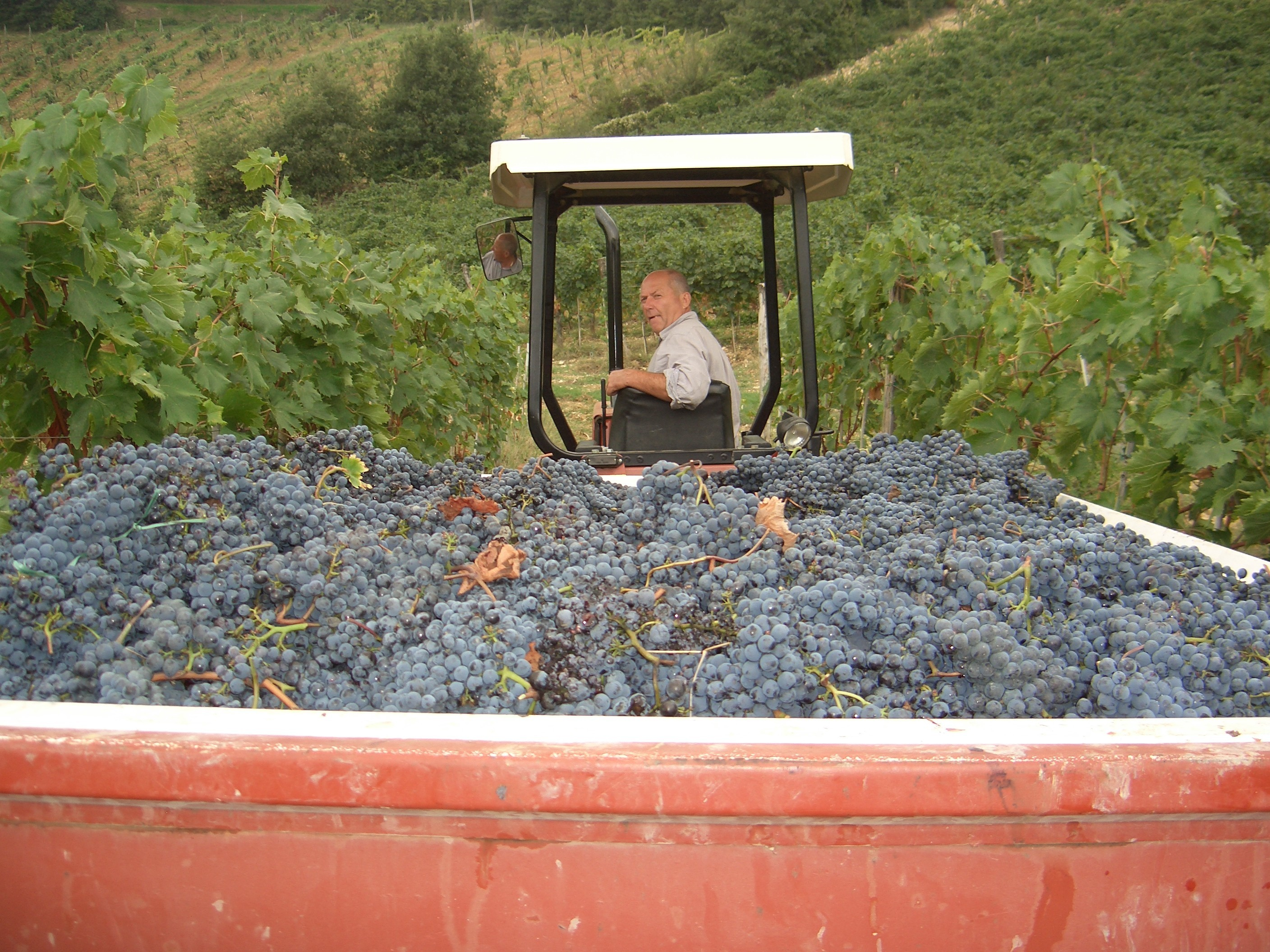 Borgo Argenina :: La Vendemmia & Grape Harvest in Chianti Classico